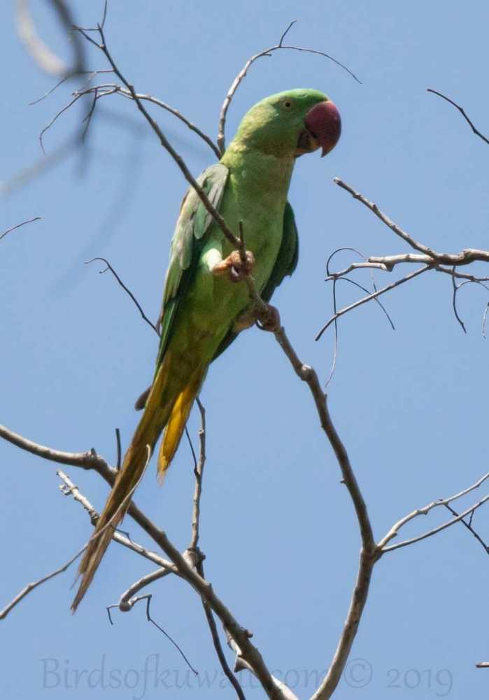 Alexandrine Parakeet perching on a branch of a tree