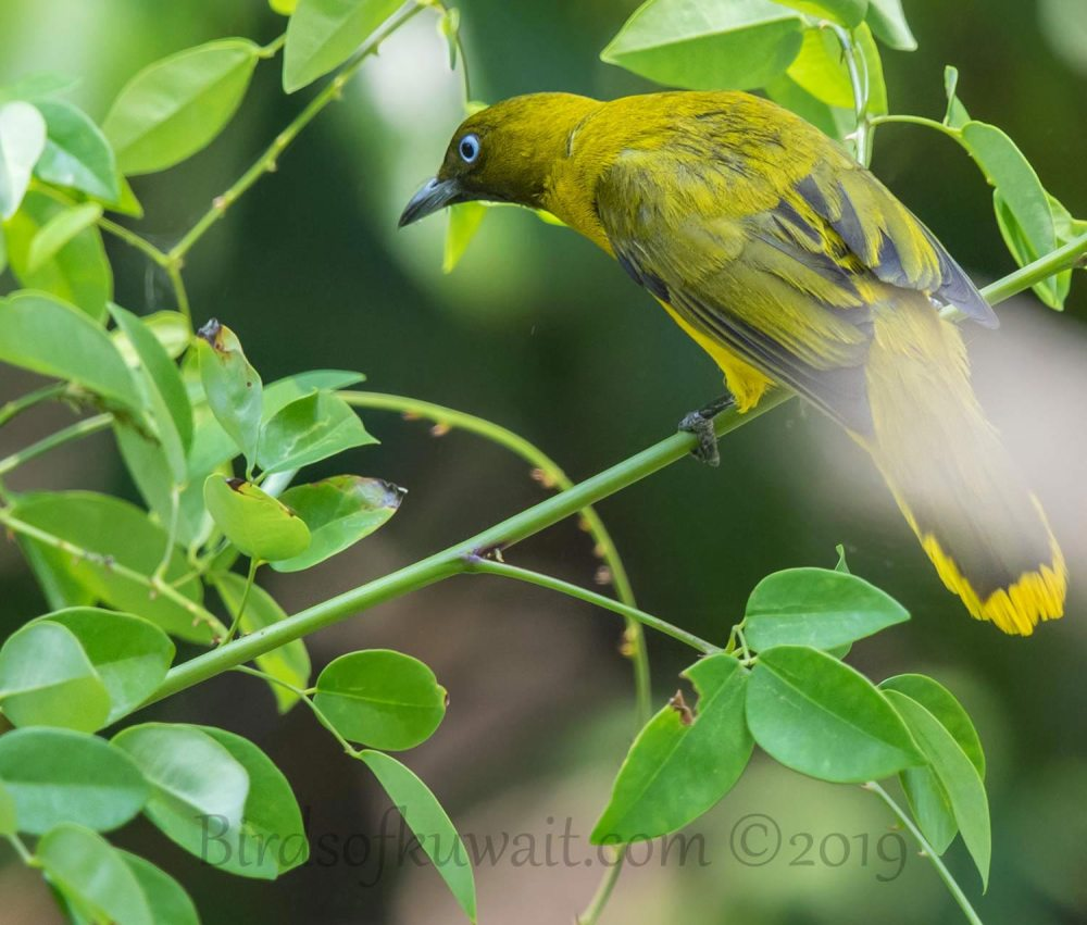 Andaman Bulbul perching on a twig of a tree