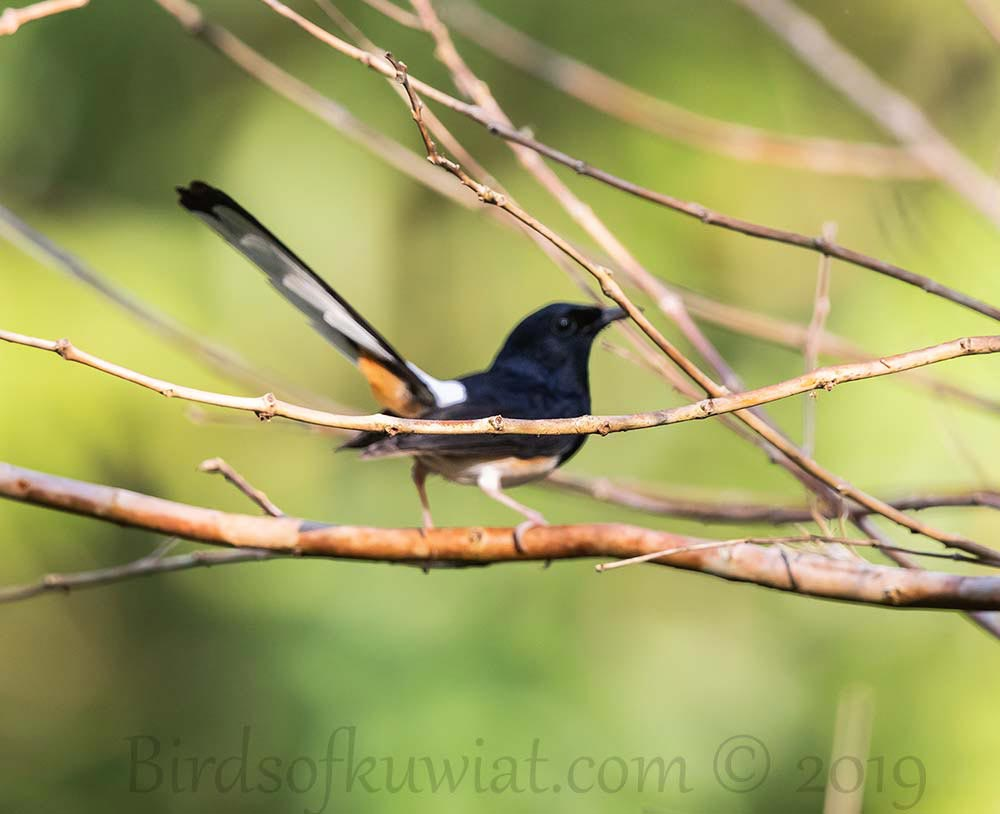 Andaman Shama perching on a branch of a tree