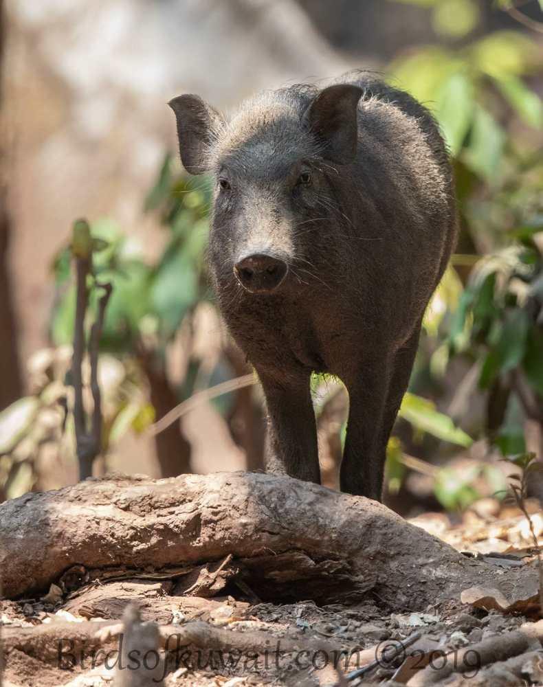 Andaman Wild Pig standing