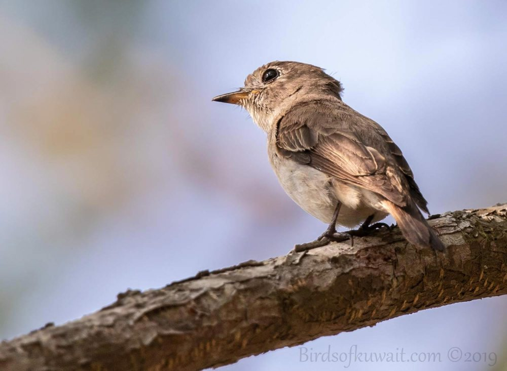 Asian Brown Flycatcher perching on a branch of a tree