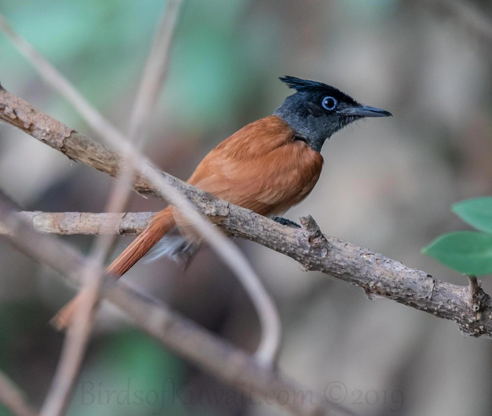Indian Paradise-Flycatcher perching on a branch of a tree