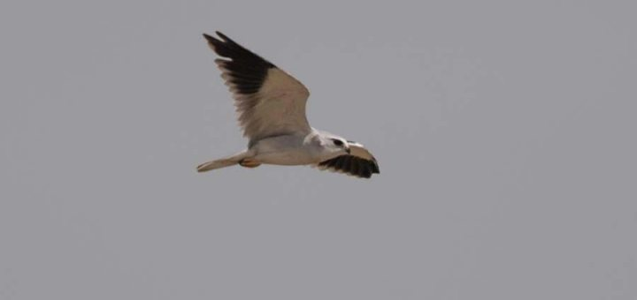 Black-winged Kite in flight