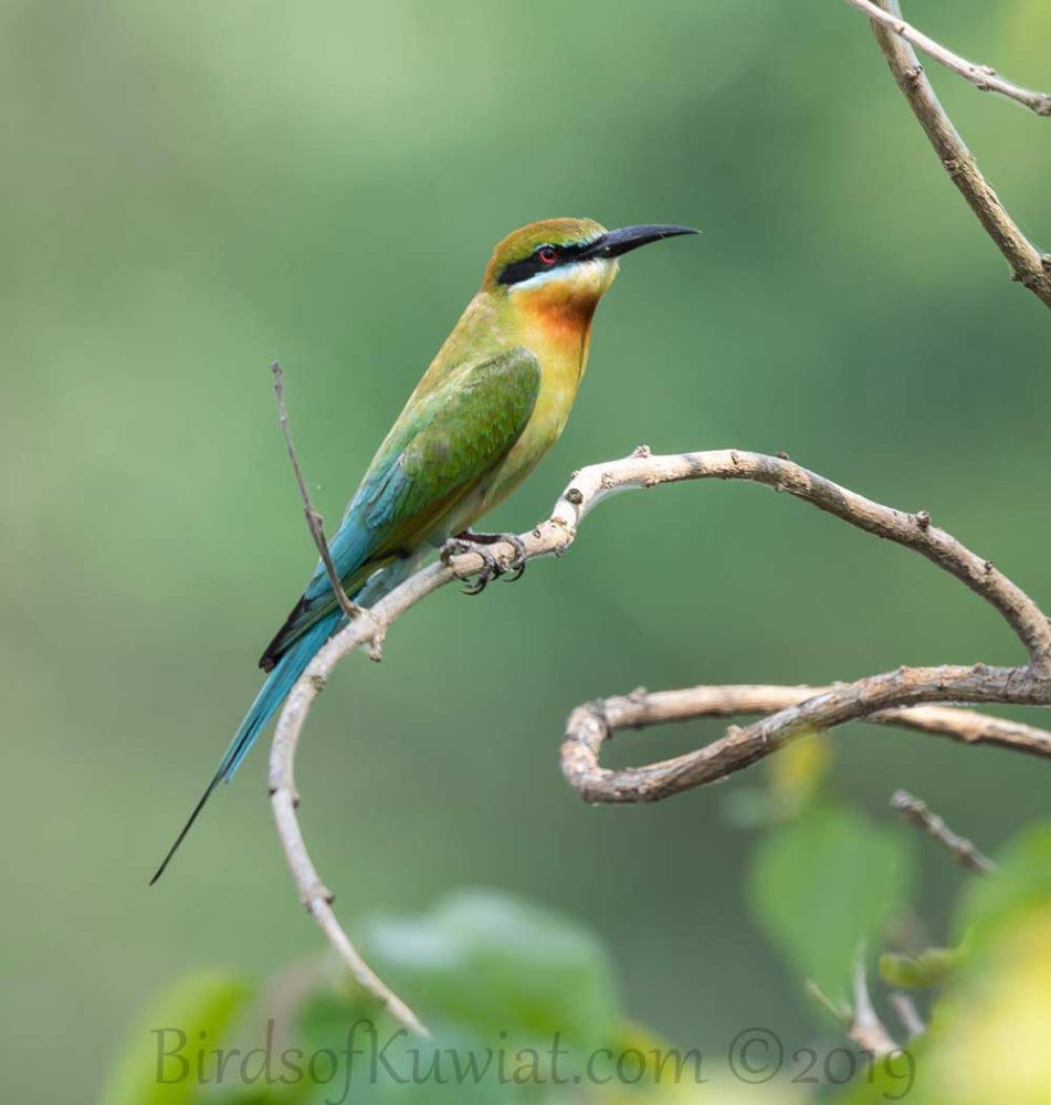 Blue-tailed Bee-eater perched on a branch of a tree