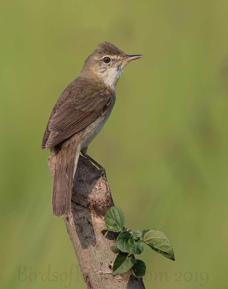Blyth's Reed Warbler perched on a truck of a tree