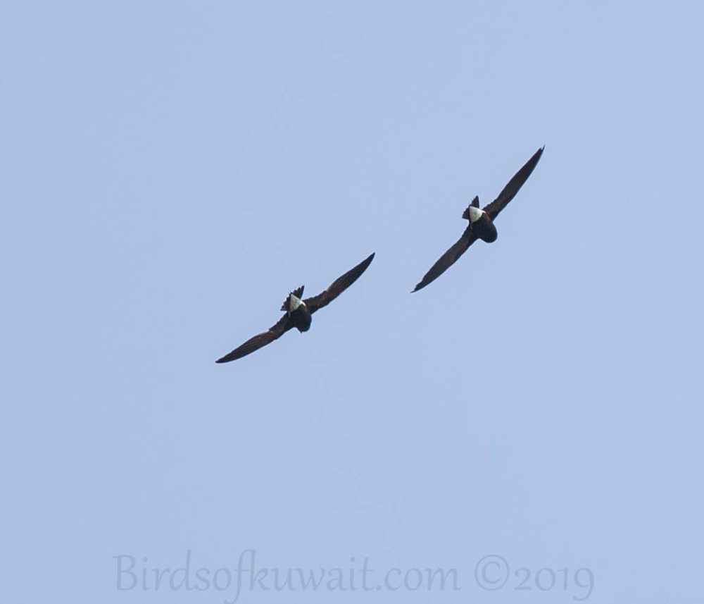 Two Brown-backed Needletail in flight