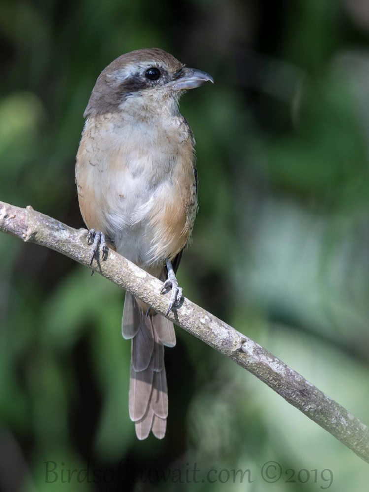 Brown Shrike perching on a branch of a tree