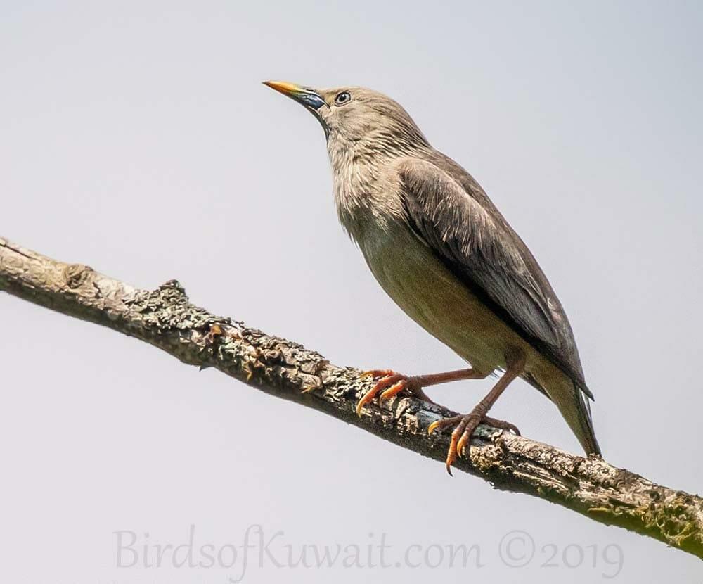 Chestnut-tailed Starling in flight