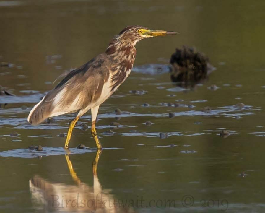 Chinese Pond Heron standing on ground