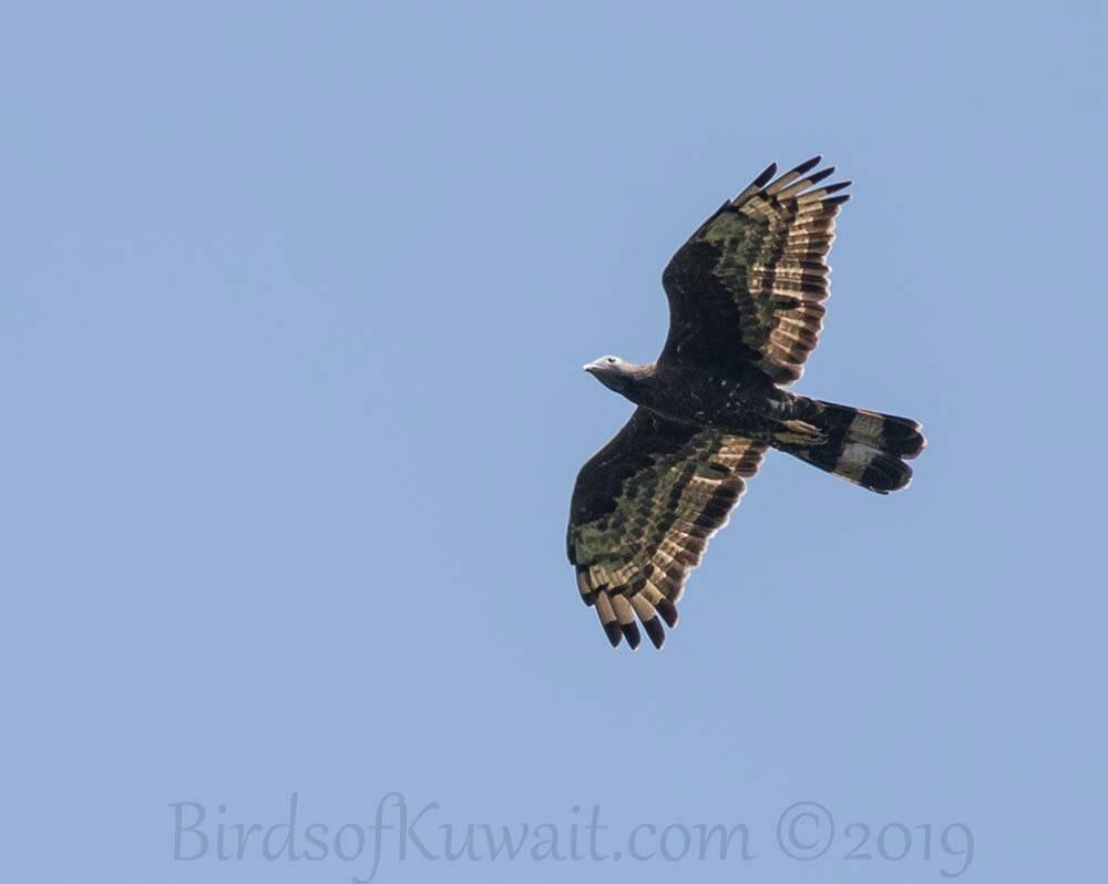 Crested Honey-buzzard in flight