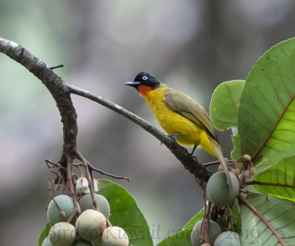 Flame-throated Bulbul perched on a branch of a tree