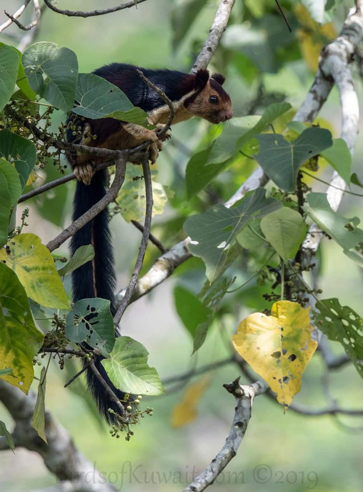 Indian Giant Squirrel perched on a branch of a tree