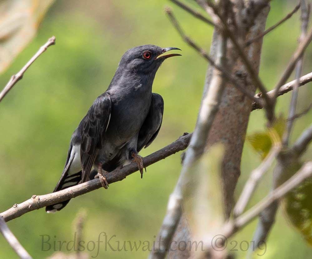 Grey-bellied Cuckoo in flight