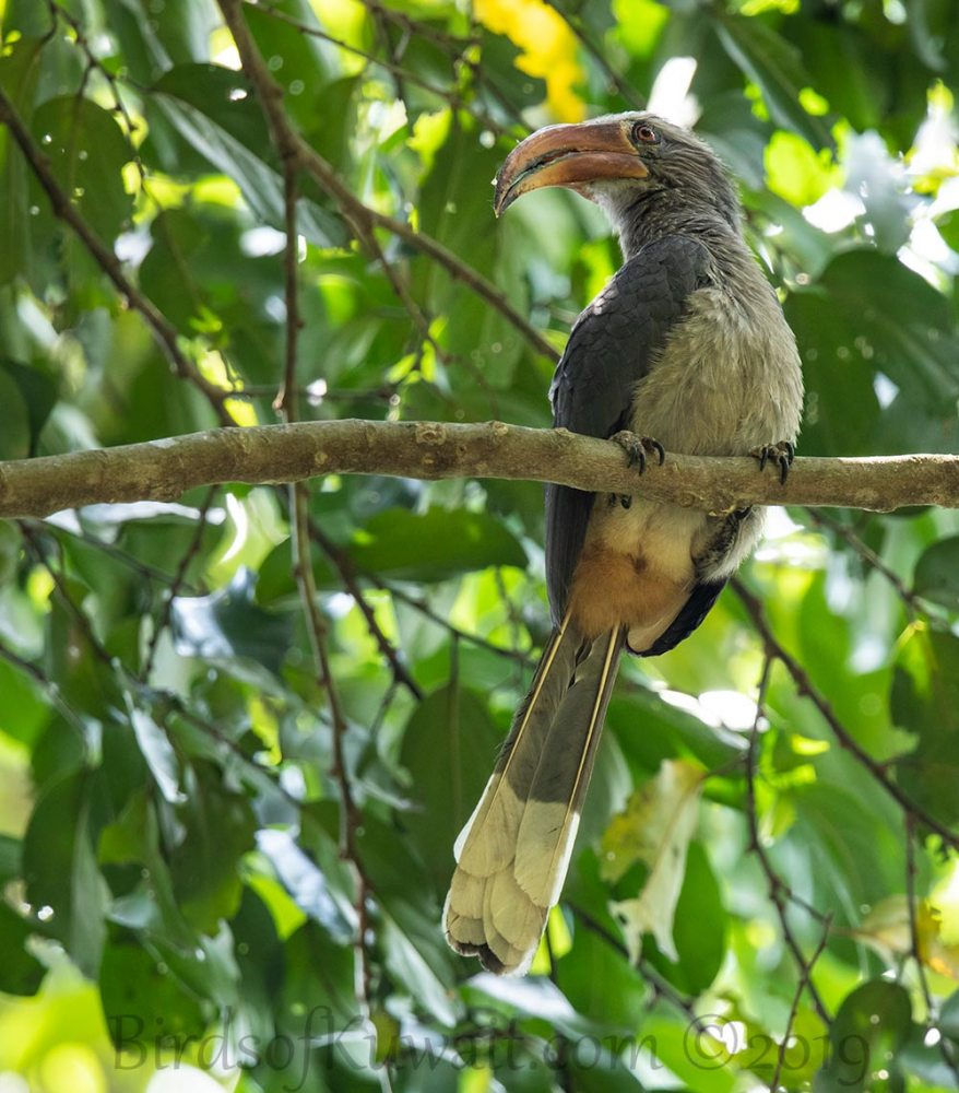 Malabar Grey Hornbill perching on a branch of a tree