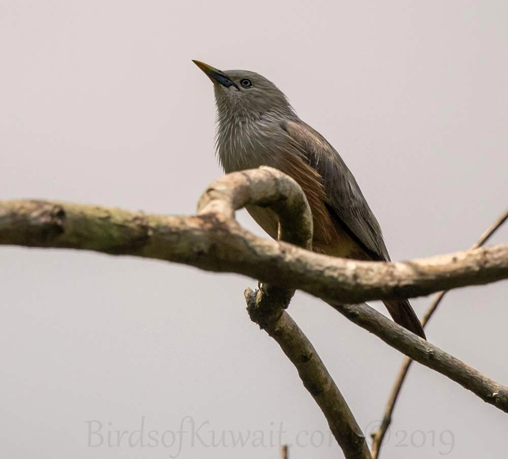 Malabar Starling perching on a branch of a tree