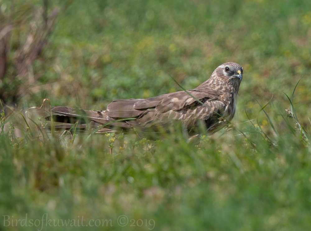 Montagu's Harrier on ground