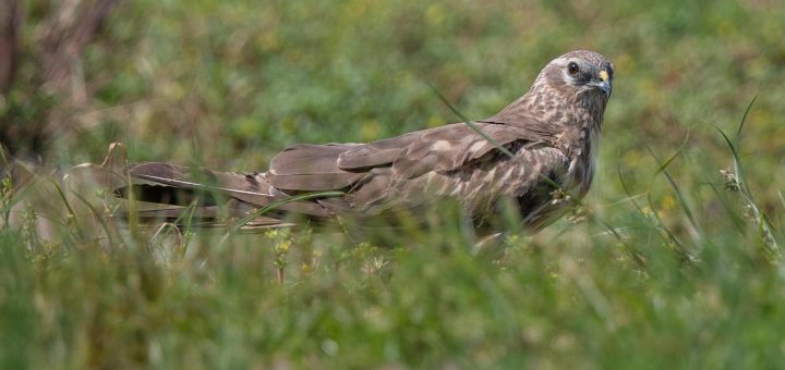 Montagu's Harrier on ground