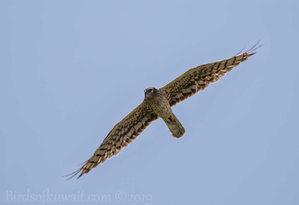 Montagu's Harrier in flight