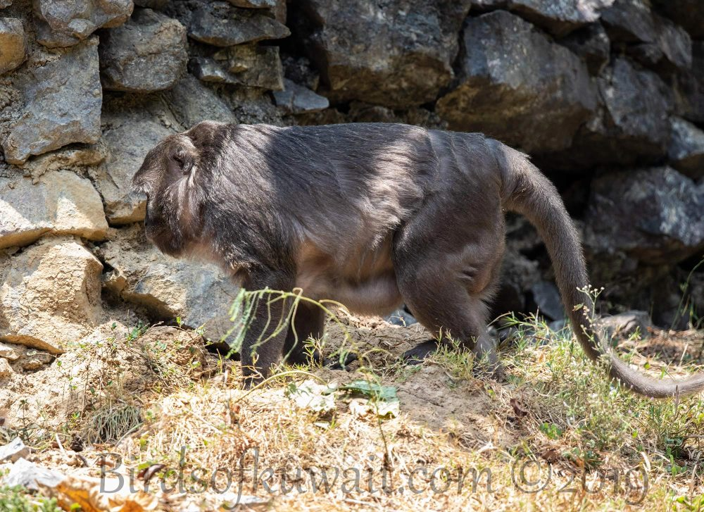 Nicobar Long-tailed-Macaque walking on ground