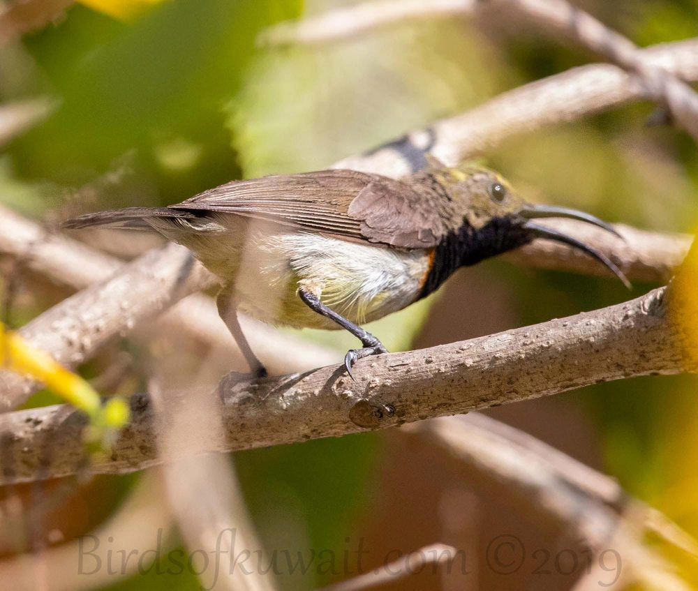 Olive-backed Sunbird perching on a branch of a tree