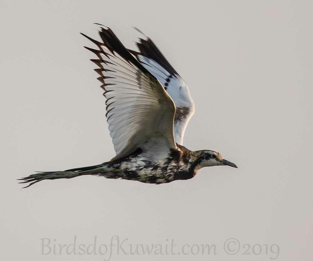 Pheasant-tailed Jacana in flight