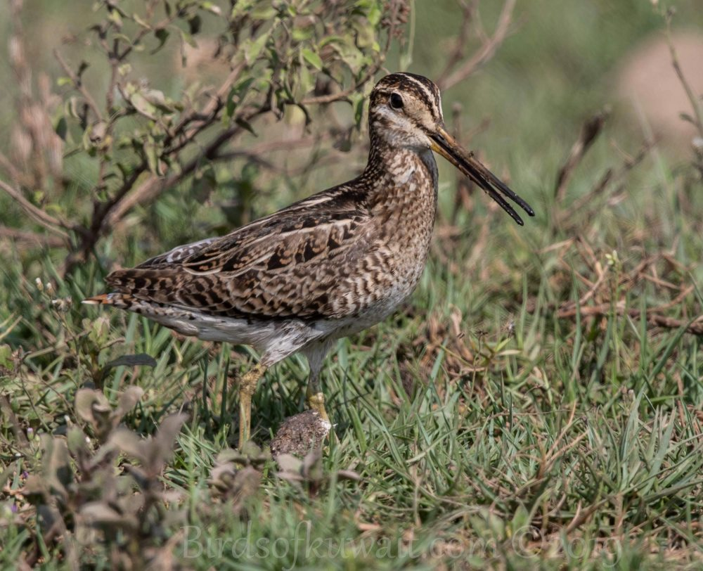Pin-tailed Snipe on a grass