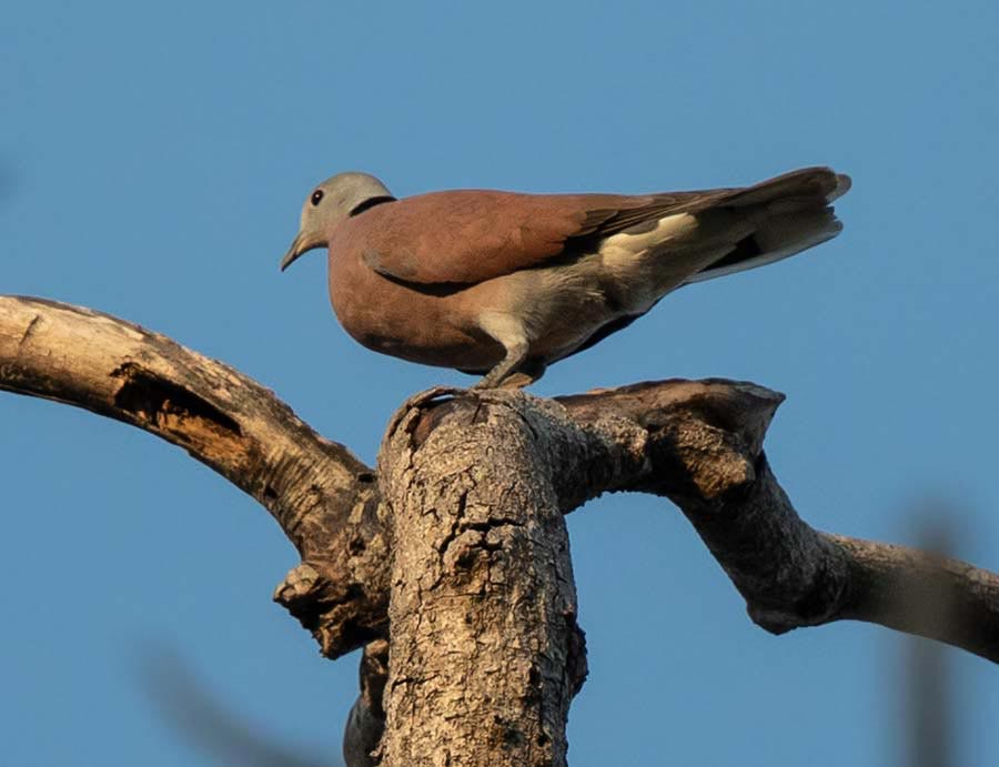 Red Collared Dove perching on a branch of a tree