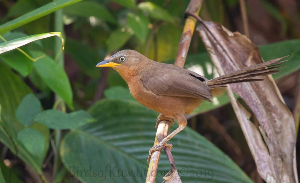 Rufous Babbler perching on a branch of a tree