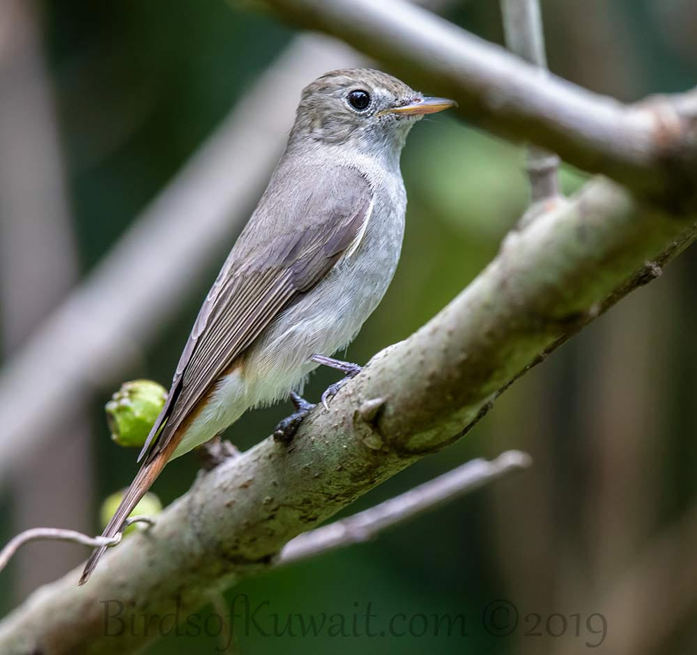 Rusty-tailed Flycatcher perching on a branch of a tree