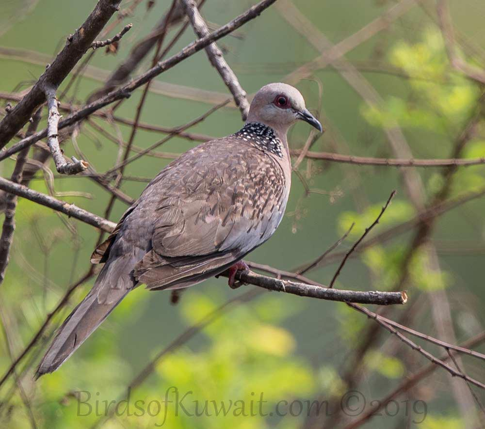 Spotted Dove perched on a branch of a tree