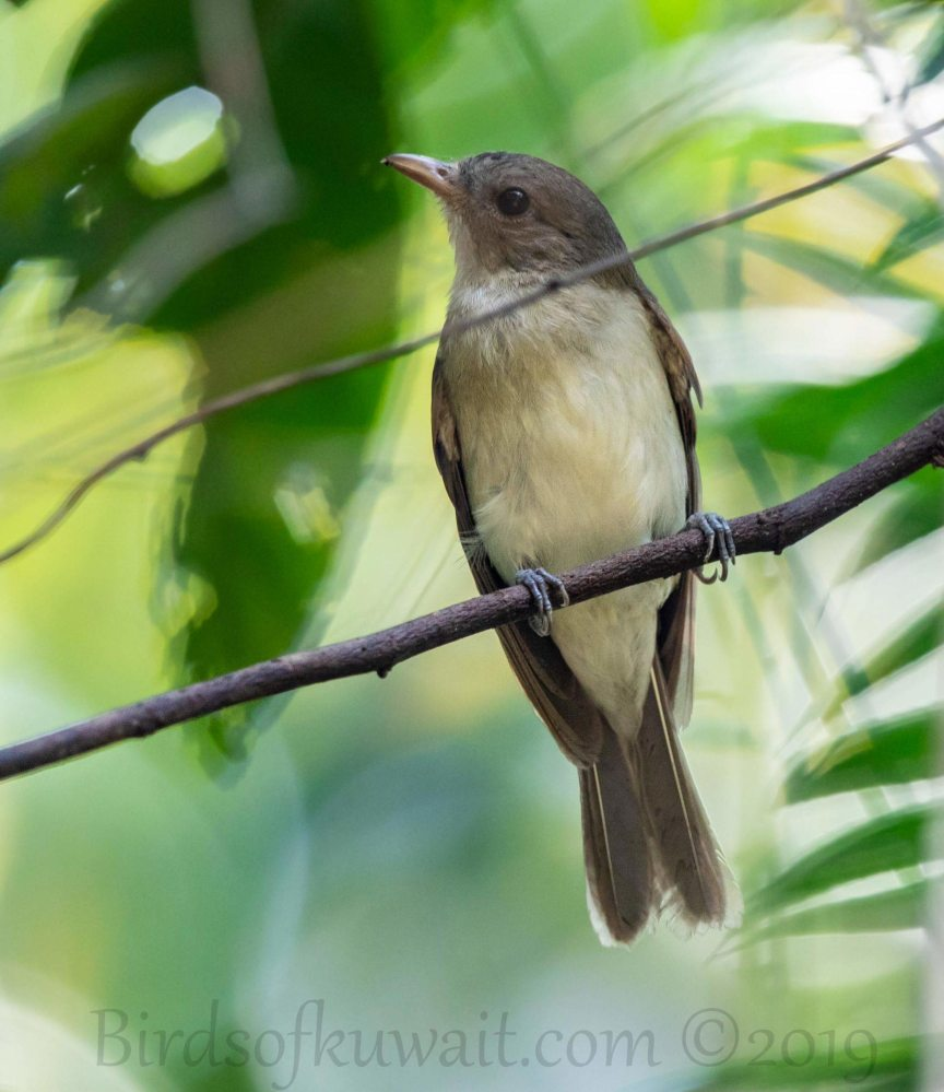 Thick-billed Warbler perching on a branch of a tree