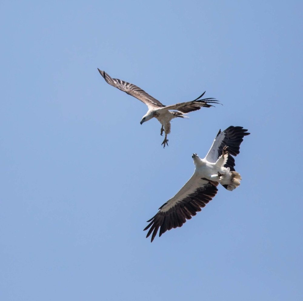 Two White-bellied Sea Eagle fighting in flight