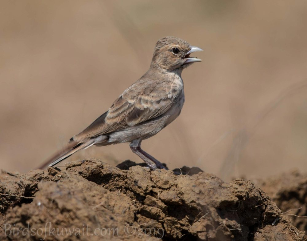 Ashy-crowned Sparrow-Lark perching on the ground