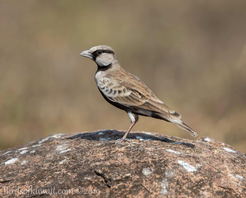 Ashy-crowned Sparrow-Lark perching on a rock
