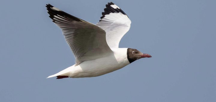 Brown-headed Gull in flight