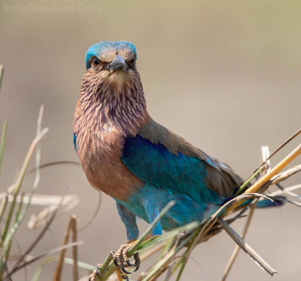 Indian Roller perching on a branch of a tree