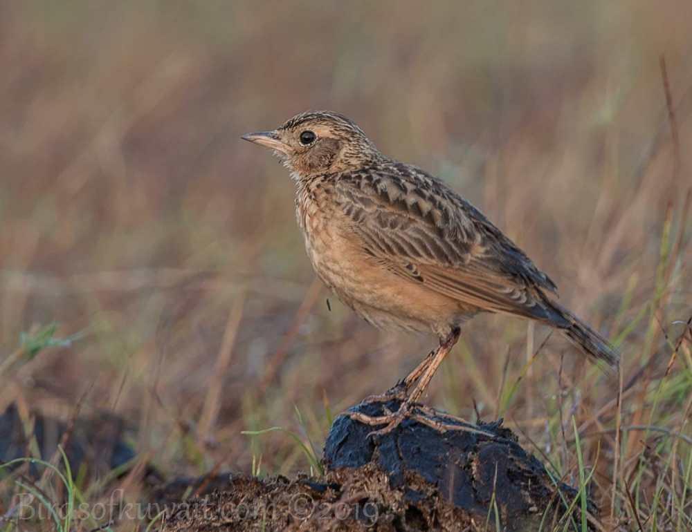 Oriental Skylark perching on a mound