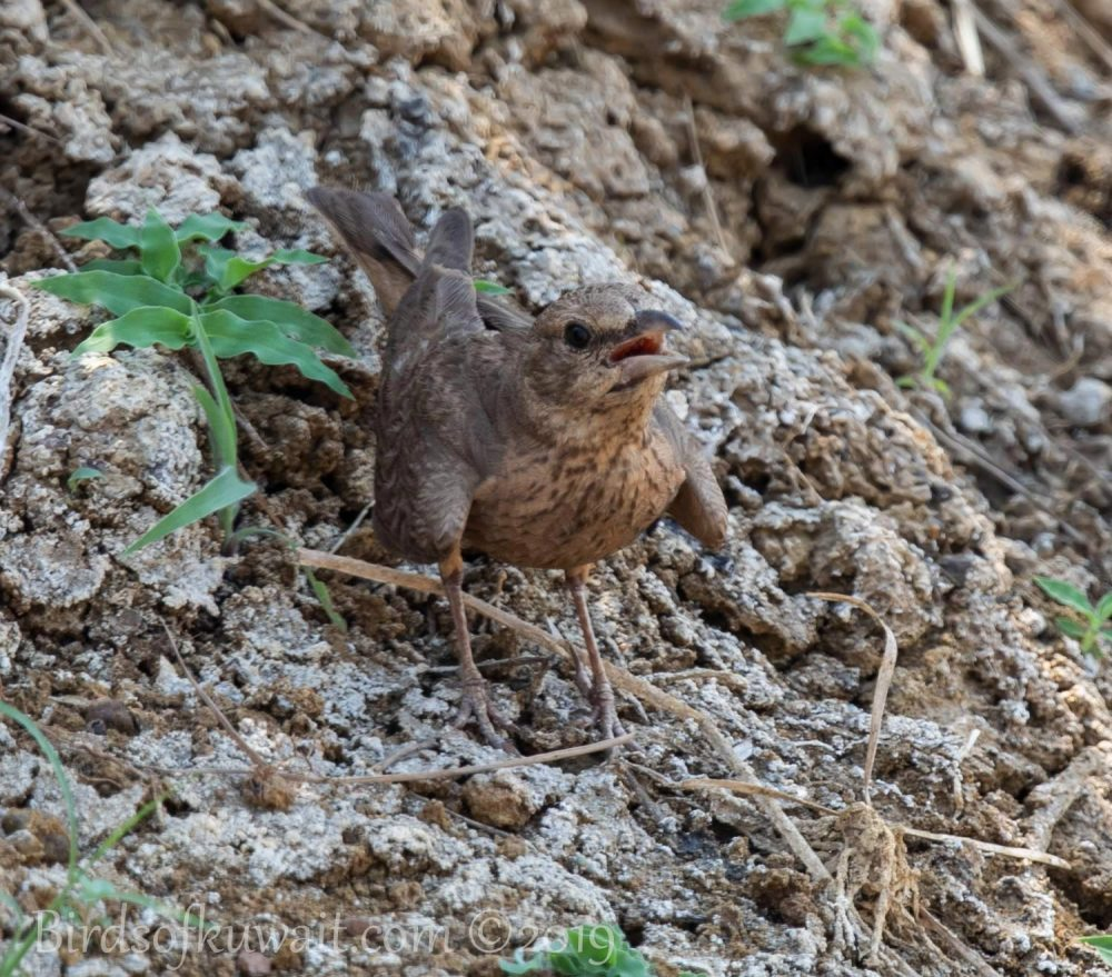 Rufous-tailed Lark perching on the ground