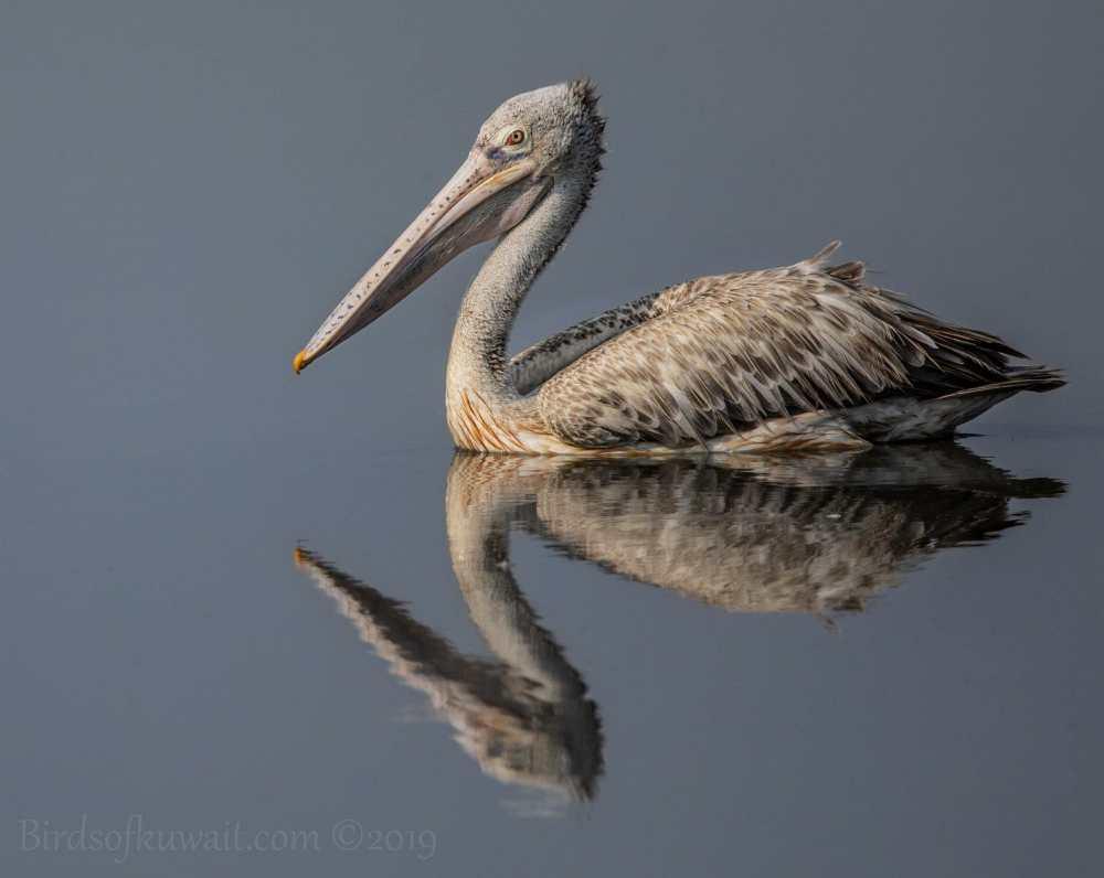Spot-billed Pelican on water