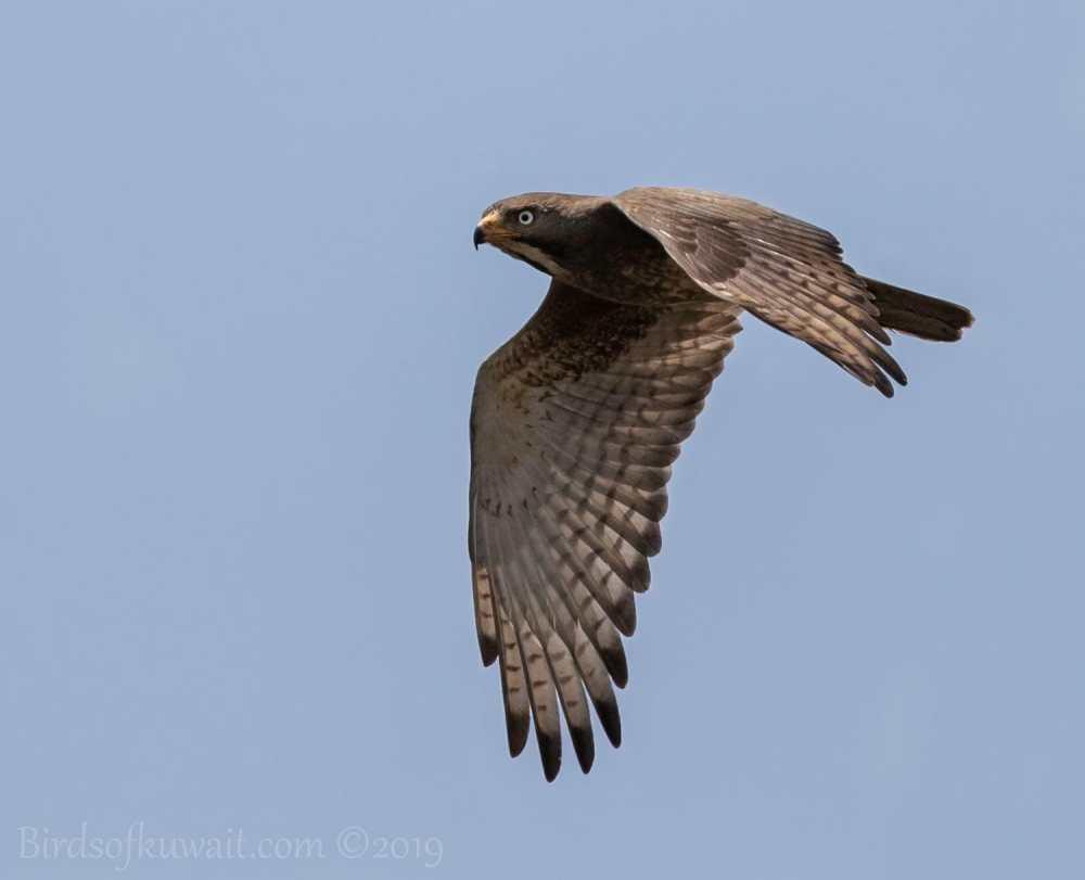 White-eyed Buzzard in flight