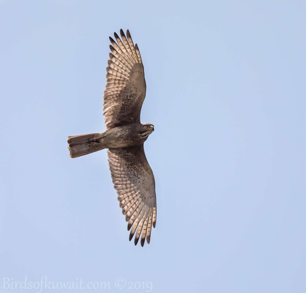 White-eyed Buzzard in flight