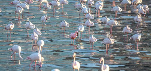 A flock of Greater flamingo with one Lesser Flamingo
