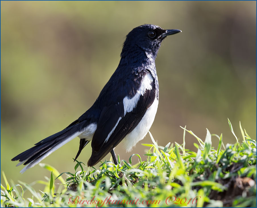 Oriental Magpie-robin perching on the ground