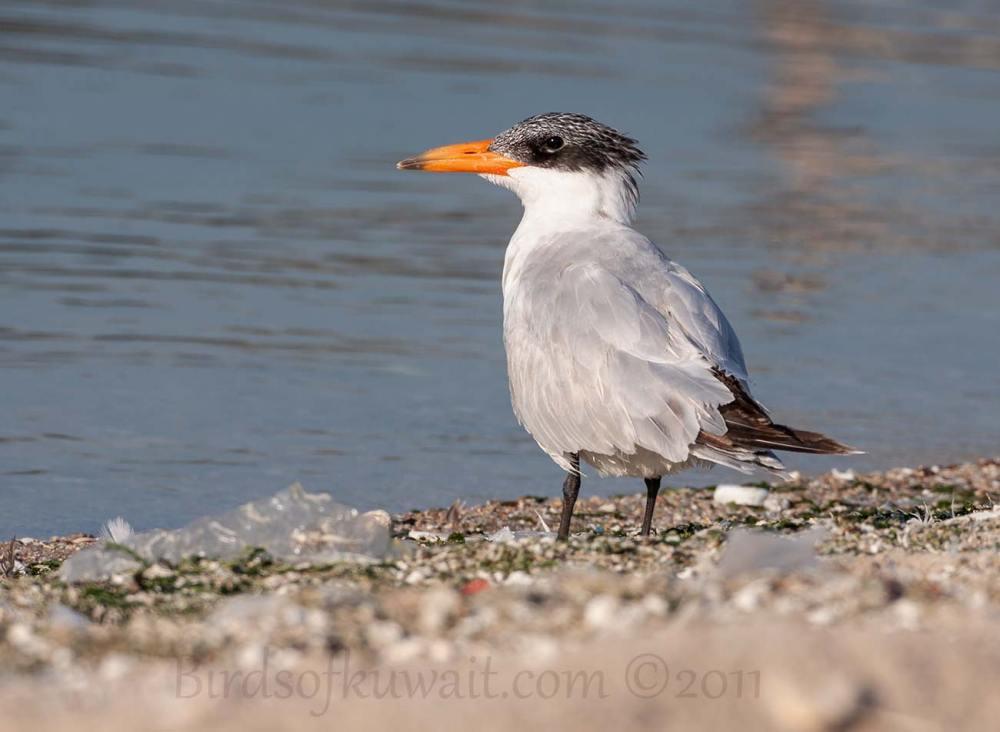 Caspian Tern standing near shoreline