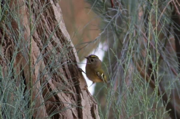 Goldcrest perching on a trunch