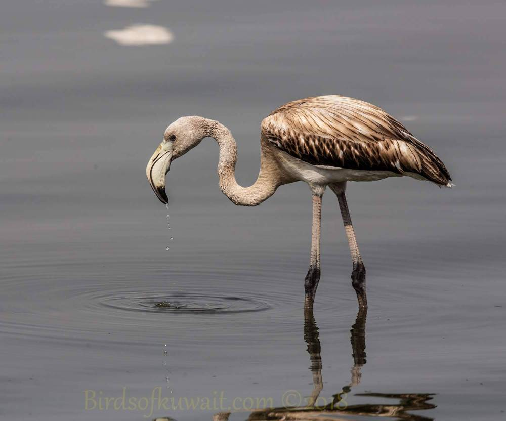 A young Greater Flamingo feeding in water