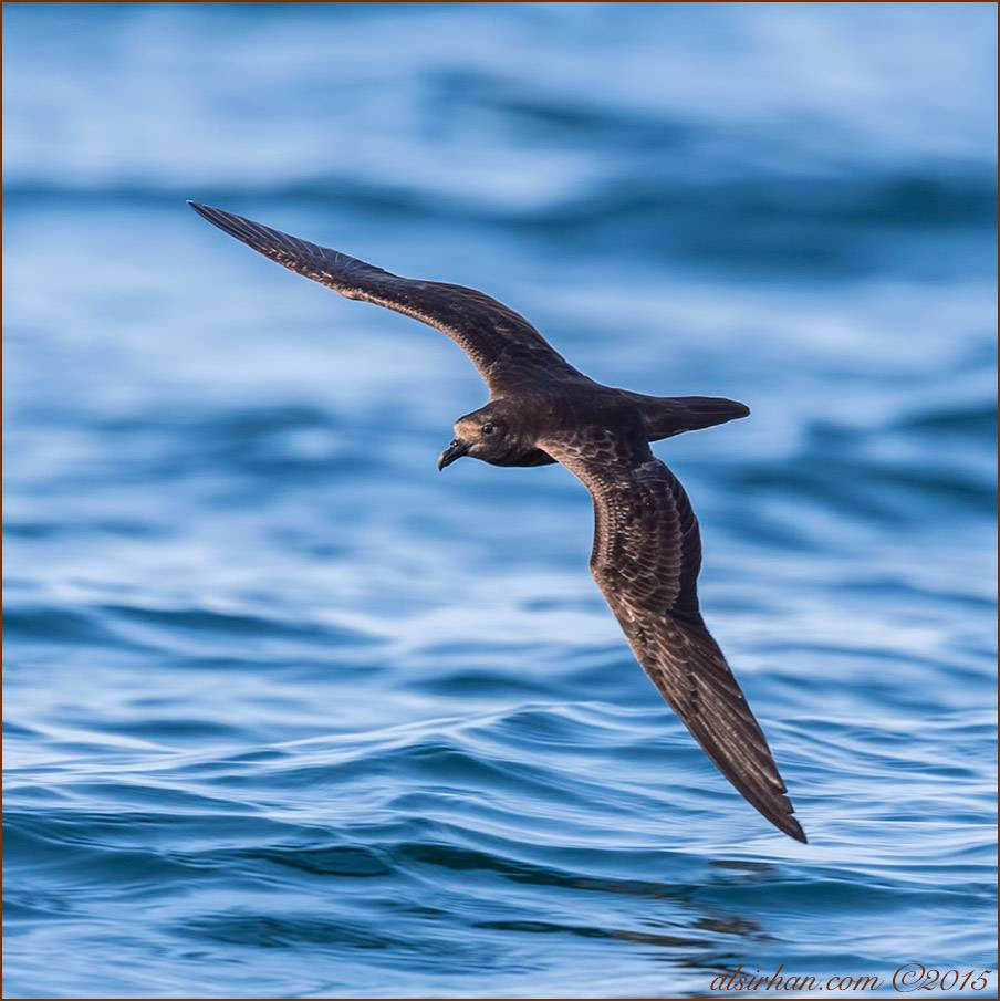 Jouanin's Petrel in flight over the sea
