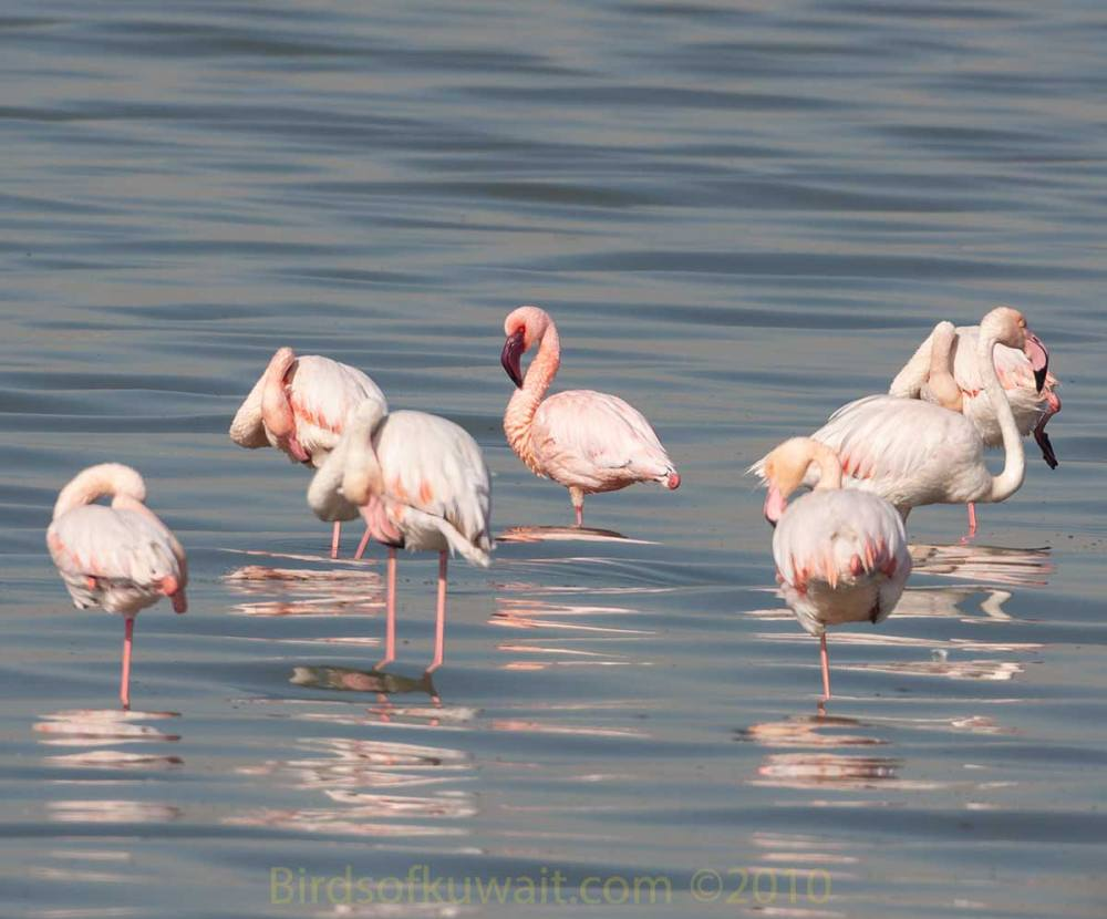A single Lesser Flamingo amongst 6 Greater Flamingos