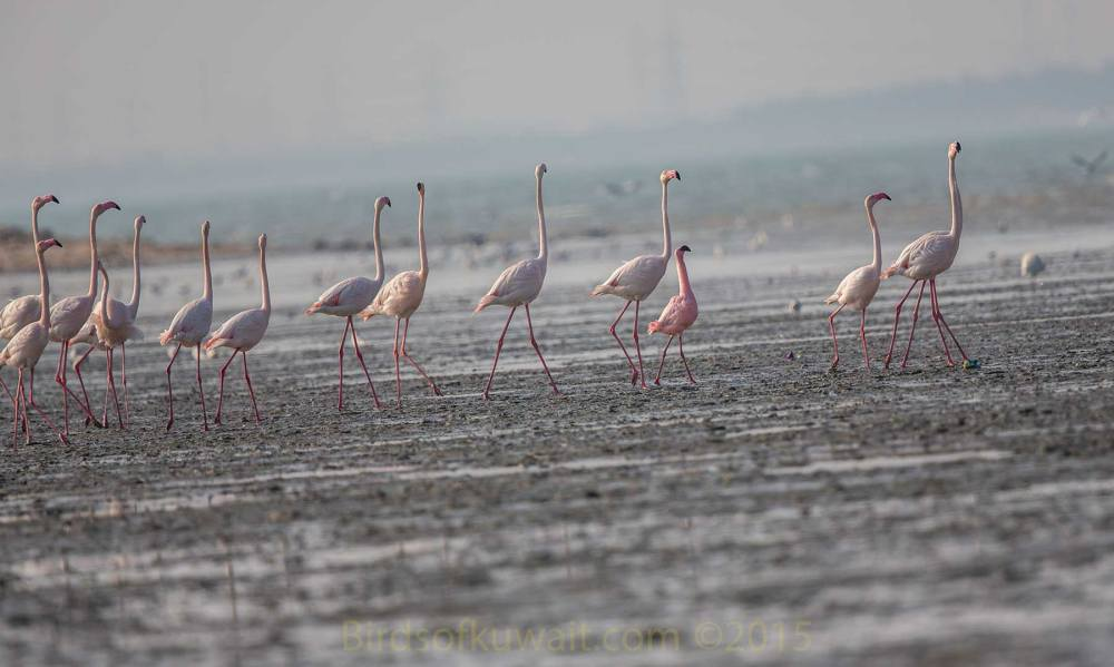 A single Lesser Flamingo amongst 12 Greater Flamingos