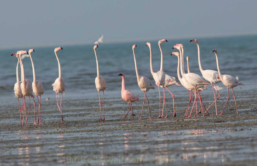 A single Lesser Flamingo amongst 15 Greater Flamingos